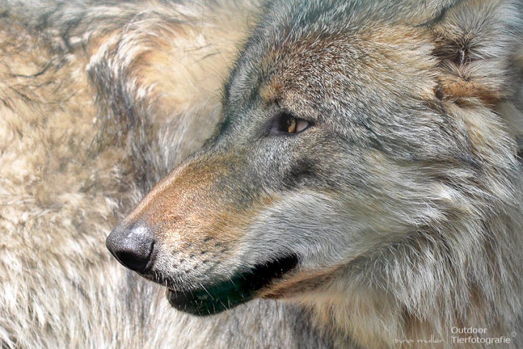 wolf19